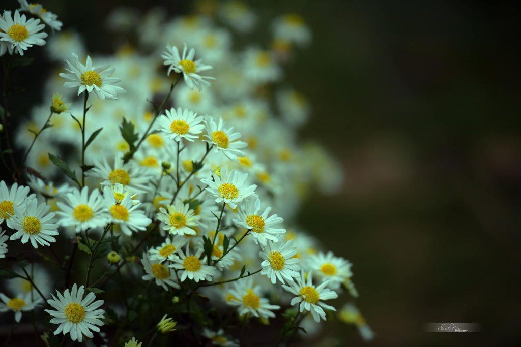 cuc hoa