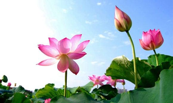 bài thuốc từ hoa sen