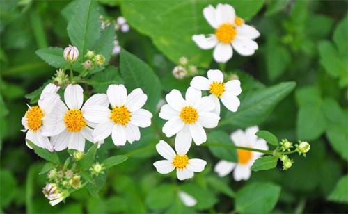 cây hoa bộ binh