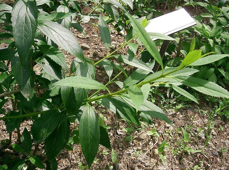 cây liên kiều