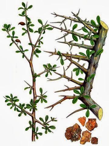 cây Một Dược
